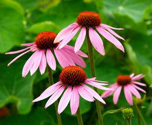 echinacea-angustifolia-immunity-booster.jpg