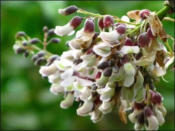 jamaican-dogwood-piscidia-erythrina.jpg