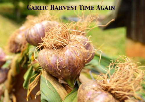 garlic-picture-copy.jpg