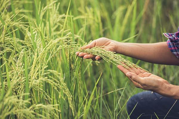 Rice Field Farmer