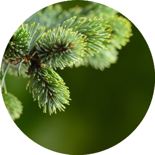 A fresh Northwest pine tree aroma. Creates a feeling of adventure and being outdoors.
