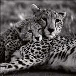 Cheetah With Cub Wall Art Print