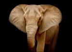 Wildlife Elephant Wall Art Print