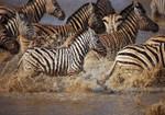 Running Zebras Wall Art Print