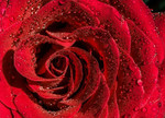 Red Rose Wall Art Print