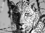 Wildlife Leopard Wall Art Print