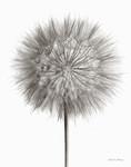 Dandelion Fluff on White Wall Art Print