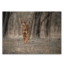 Wildlife Tiger Wall Art Print