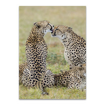 Loving Cheetah Wall Art Print