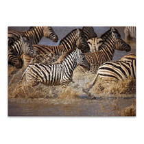 Running Zebras Wall Art Print