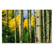 Aspen Grove In Autumn Wall Art Print