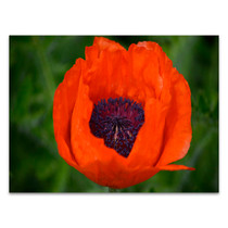 Orange Poppy Wall Art Print