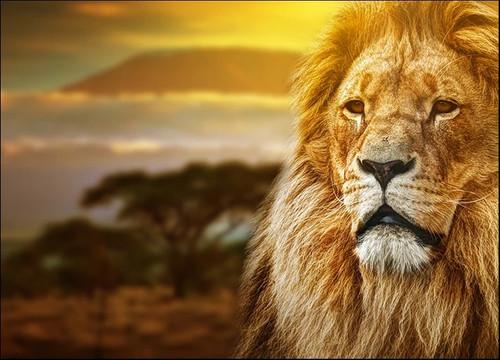 Savanna Lion Wall Art Print