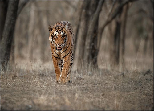 Wildlife Tiger Wall Art Print
