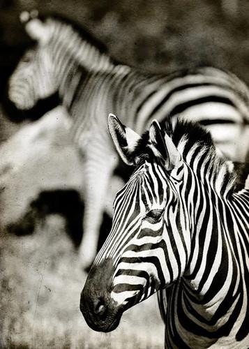 Zebras Wall Art Print