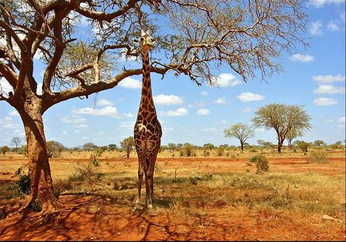 African Giraffe Wall Art Print