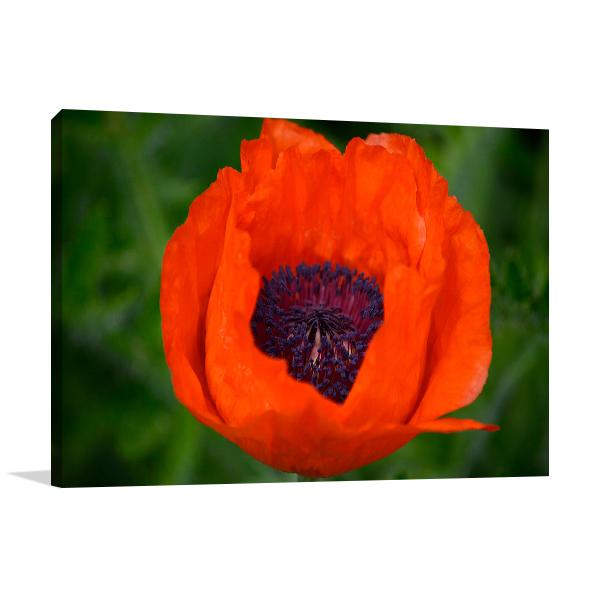 Orange Poppy Wall Art Print