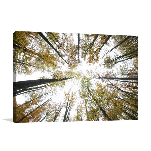 Autumn Beeches Canvas Prints