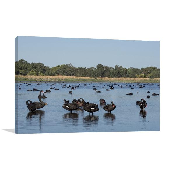 Black Swans On A Lake Perth Wall Art