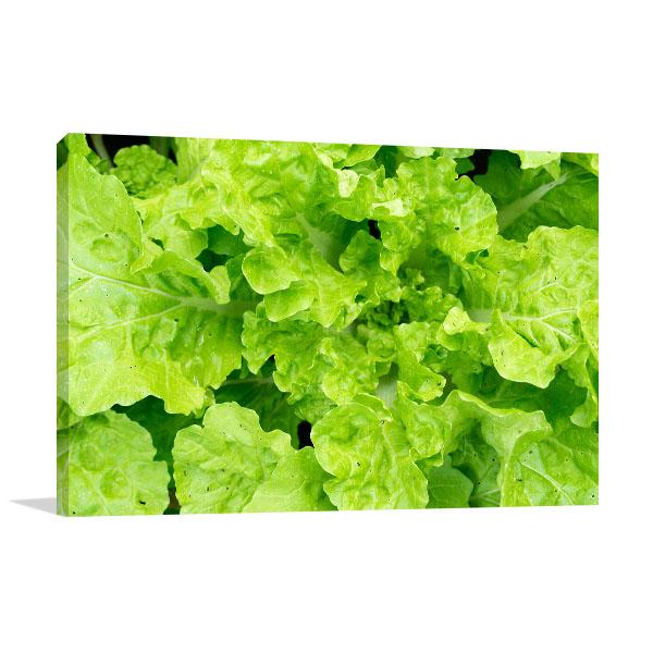 Fresh Lettuce Close up Art Print Print Artwork