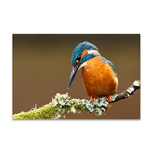 Kingfisher Wall Art Print