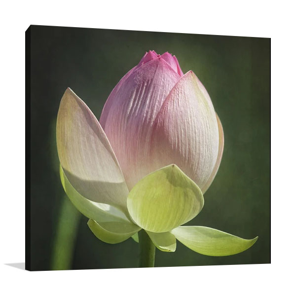 Lotus Bud-Canvas Print | Werder