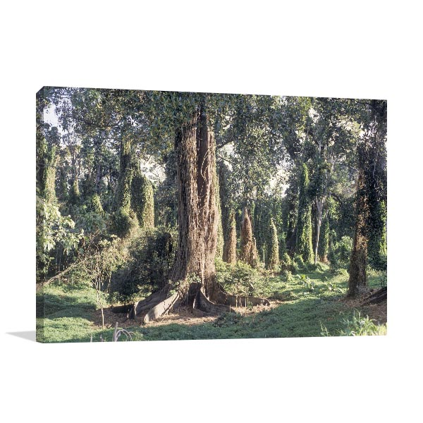 New South Wales Art Print Wingham Giant Fig Tree Artwork Picture