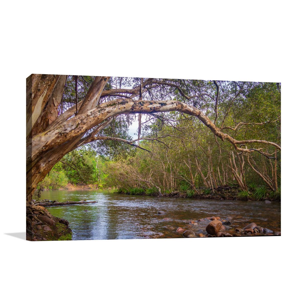 Queensland Art Print River Gum