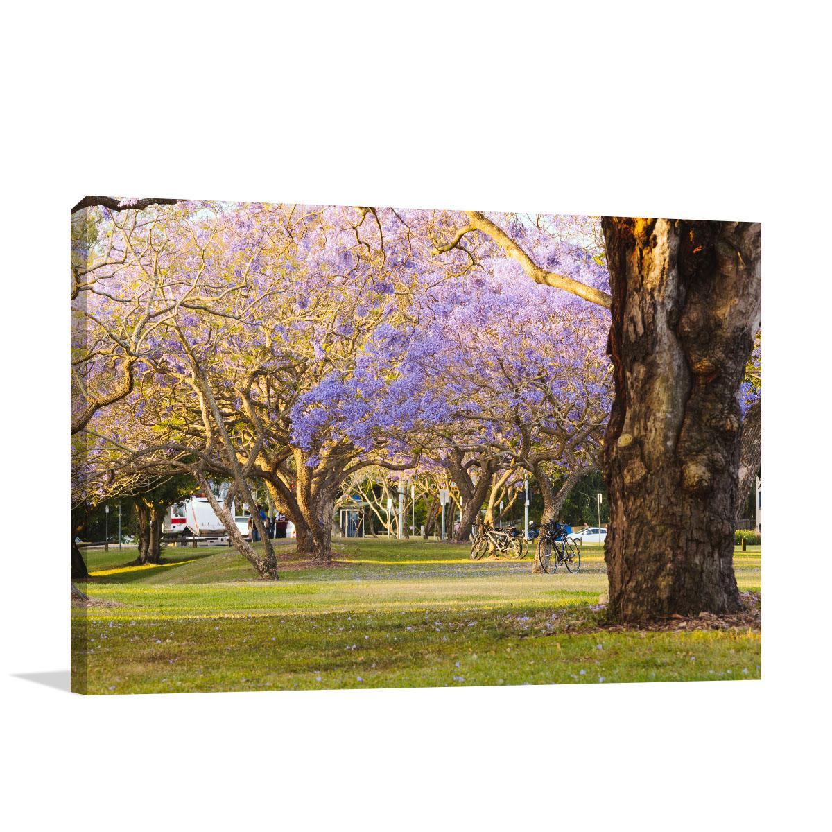 Queensland Art Print St Lucia Jacaranda Tree