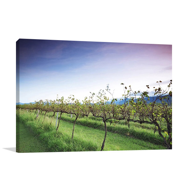 Queensland Lavender Farm Canvas Print