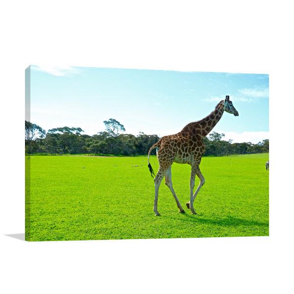 South Australia Wall Art Monarto Zoo Giraffe Canvas Artwork