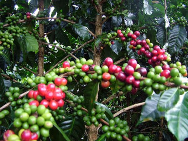 Fair Trade Organic Papua New Guinea Vienna Roast