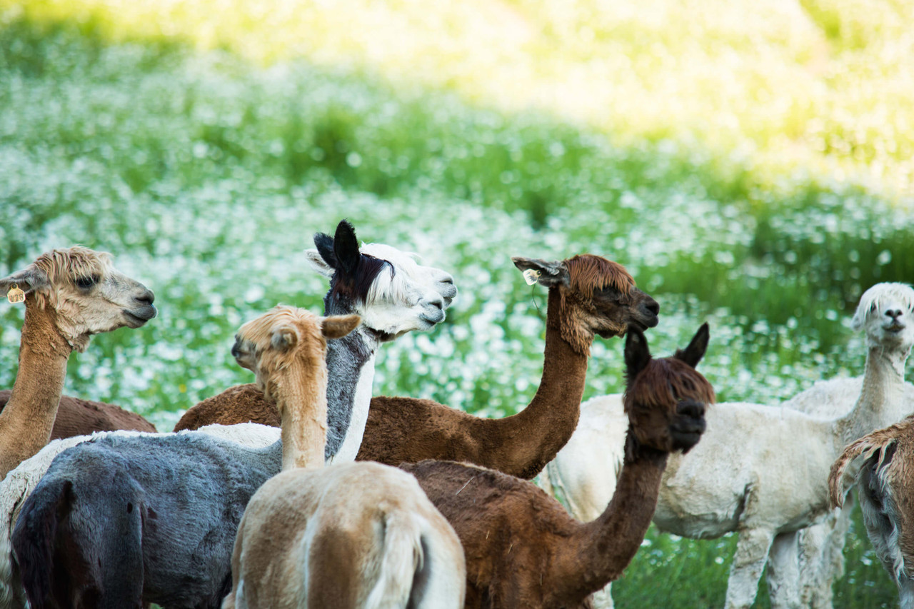 alicia adams alpaca sustainably sourced and fair trade made alpaca clothing and home decor