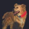 Nite Ize Nite Dawg LED Collar Cover Pink (NDCC-03-12)