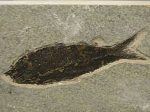 Fossil Fish Knightia Eocaena 7.75 inch Fossil Lake Green River Wyoming #3