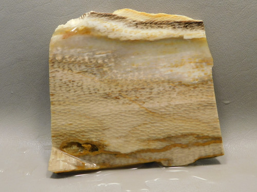 Petrified Wood Sycamore Lapidary Stone Slab Rough Rock Fossil #O4