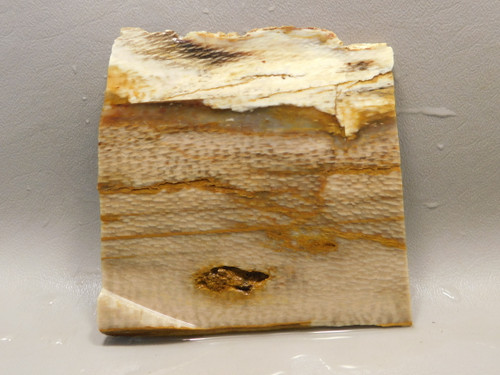 Petrified Wood Sycamore Lapidary Stone Slab Rough Rock Fossil #O7