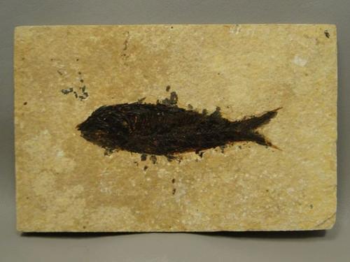 Fossil Fish Knightia Eocaena 7.75 inch Fossil Lake Green River Wyoming #2