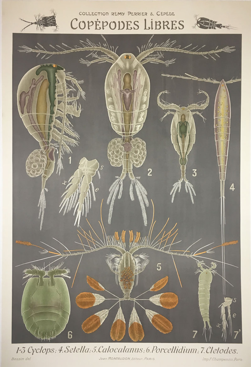 Copepodes Libres Sea Lice/Sold as part of a set of 21 images*
