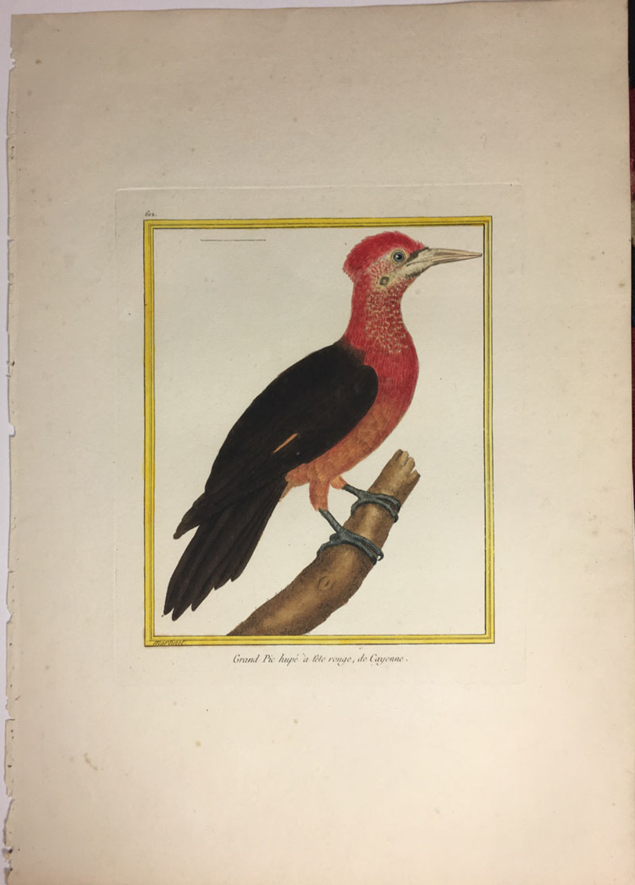 Great Red Cayenne Woodpecker