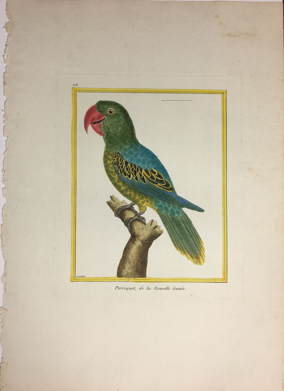 New Guinea Parakeet