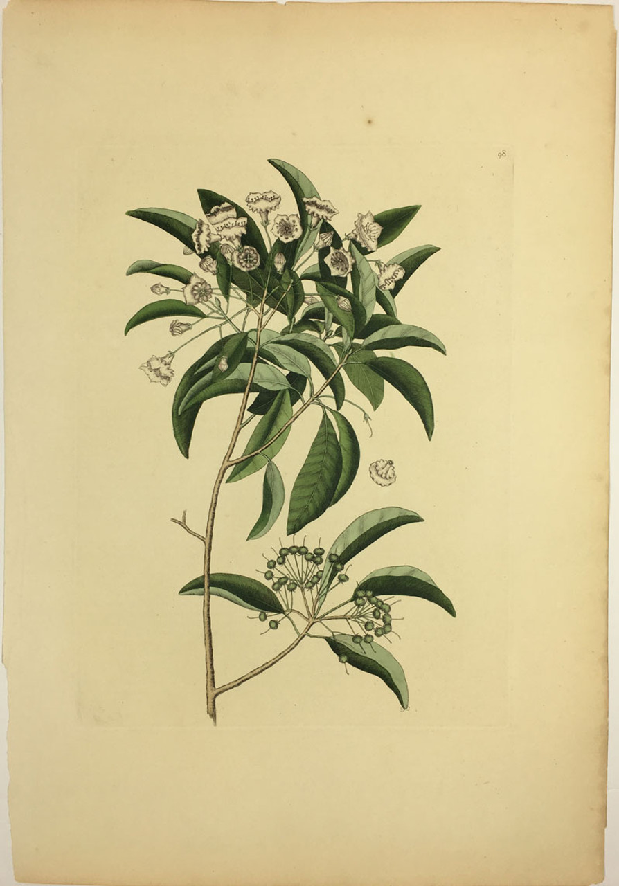 Mountain Laurel/Plate 98