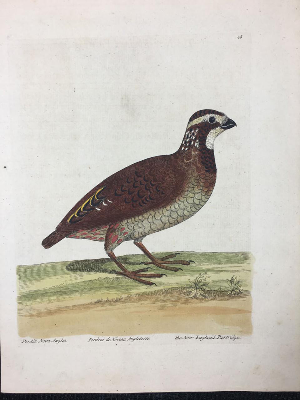 New England Partridge