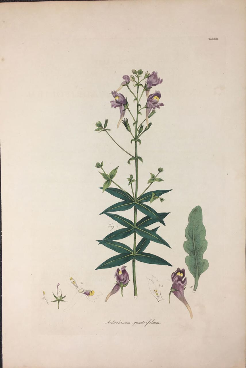 Antirrhinum quadrifolium TAB. XLIIII