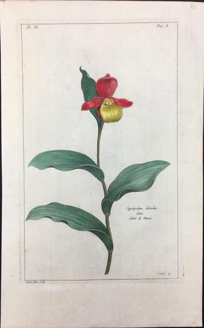 Cypripedum calceolus Pl.VI Decad 8