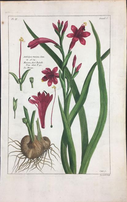 Antholyza Meriana Pl.II Decad 5