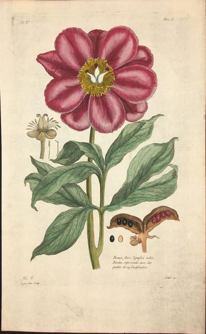 Paeonia flore Pl.V Decad 6