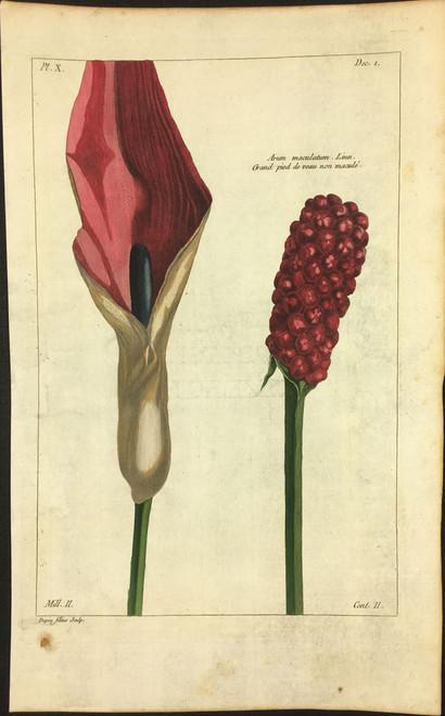 Arum maculatum Pl.X Decad 1