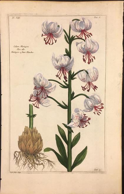 Lilium Martagon Pl.VIII Decad 5