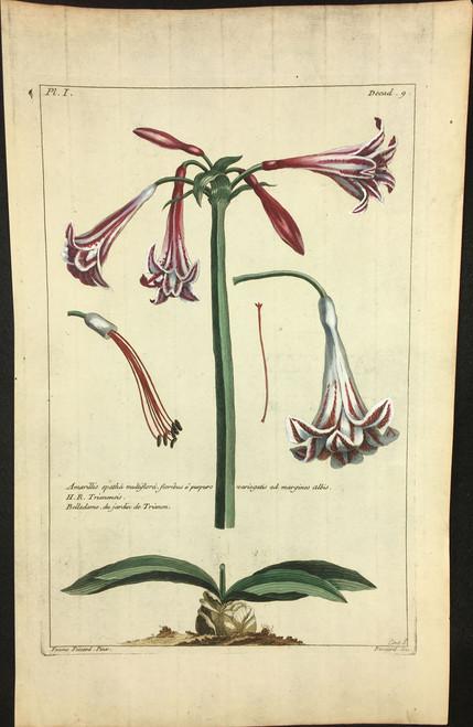 Amarillis spatha multiflora Pl.I Decad 9